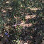 Ophrys apifera Flower