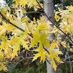 Acer saccharinum Leht