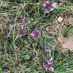 Lamium hybridum Flower