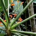 Stromanthe jacquinii