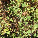 Persicaria perfoliata ഇല