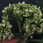 Psychotria limonensis