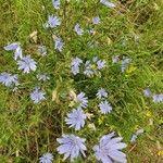 Cichorium endivia Pflanze