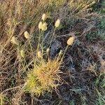 Cenchrus mezianus