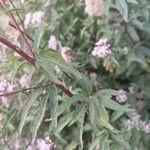 Eupatorium lindleyanum