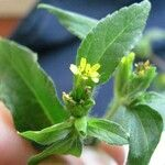 Calyptocarpus wendlandii