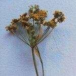 Foeniculum vulgare Virág