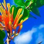 Psittacanthus rhynchanthus