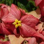 Mussaenda philippica