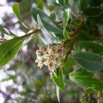 Embelia angustifolia