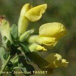 Cytisus triflorus