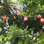 Mucuna novo-guineensis