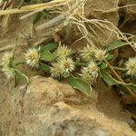 Alternanthera nodiflora