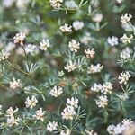 Dorycnium pentaphyllum Autre