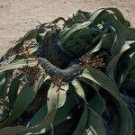 Welwitschia mirabilis Flower