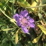 Lomelosia divaricata