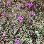 Commicarpus pedunculosus Flower