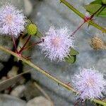Mimosa debilis