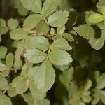 Fraxinus dimorpha
