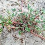 Portulaca oleracea 叶