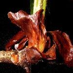 Paullinia bracteosa
