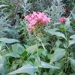 Centranthus ruber List