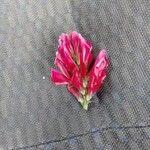 Hedysarum coronarium Kvet