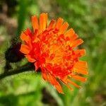 Pilosella aurantiaca