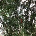 Picea rubens