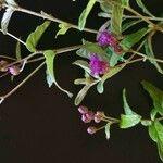 Gutenbergia cordifolia