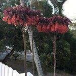 Kalanchoe delagoensis Flower