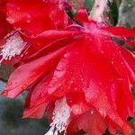 Disocactus ackermannii