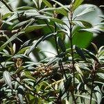 Tetrazygia angustifolia