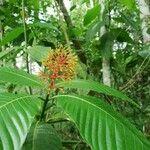 Palicourea guianensis