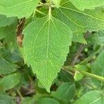 Chromolaena odorata Liść