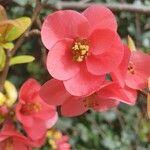 Chaenomeles japonica 花