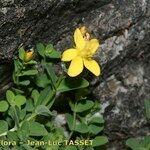 Hypericum corsicum