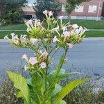 Nicotiana tabacum Kwiat
