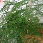 Asparagus setaceus Leaf