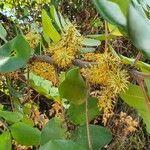 Ceratonia siliqua Blomma