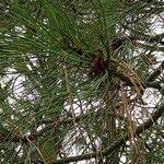 Pinus jeffreyi