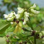 Dalbergia candenatensis