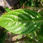 Cananga odorata Leaf