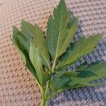 Rudbeckia laciniata List