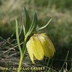 Fritillaria moggridgei