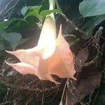 Brugmansia suaveolens Blomma