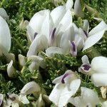 Astragalus angustifolius