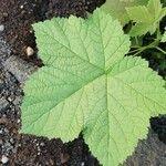 Rubus parviflorus Foglia