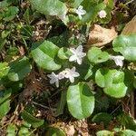 Epigaea repens Kvet