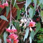 Eucalyptus sideroxylon